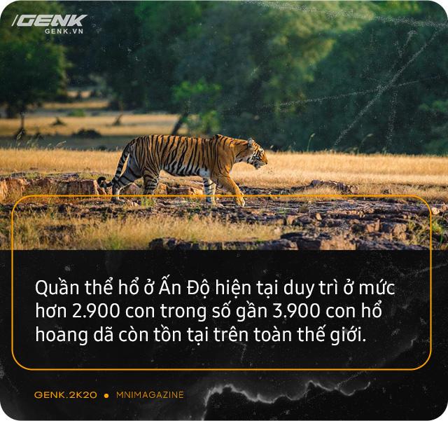 Những con hổ ăn thịt người ở Ấn Độ: Cái giá của sự bảo tồn? - Ảnh 6.