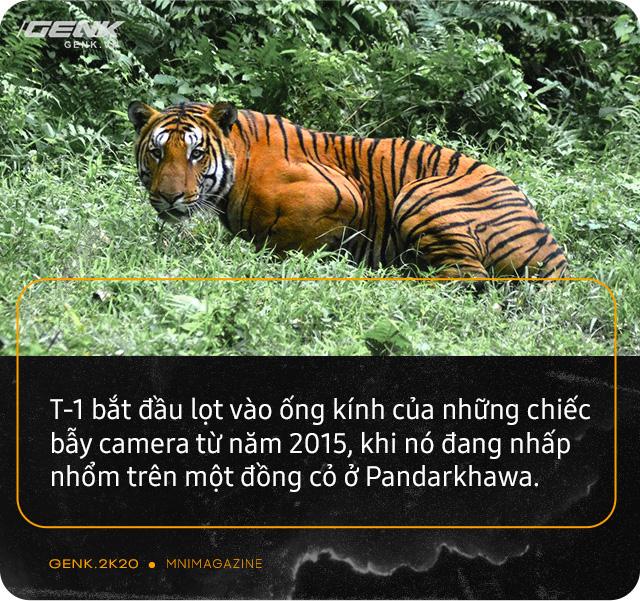 Những con hổ ăn thịt người ở Ấn Độ: Cái giá của sự bảo tồn? - Ảnh 9.