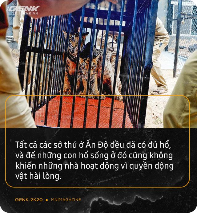 Những con hổ ăn thịt người ở Ấn Độ: Cái giá của sự bảo tồn? - Ảnh 10.