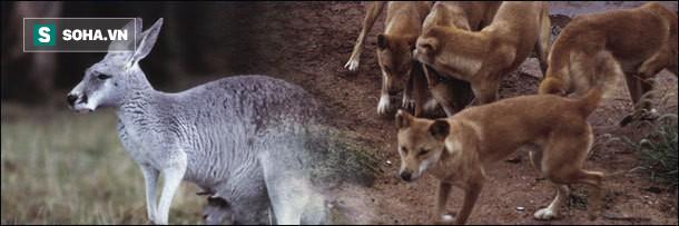 Chó hoang Dingo sử dụng chiến thuật để hạ gục Kangaroo to gấp 3 lần - Ảnh 1.