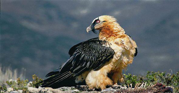 1001 thắc mắc: Không phải chúa tể đại bàng, loài chim nào bay cao nhất thế giới? - Ảnh 2.