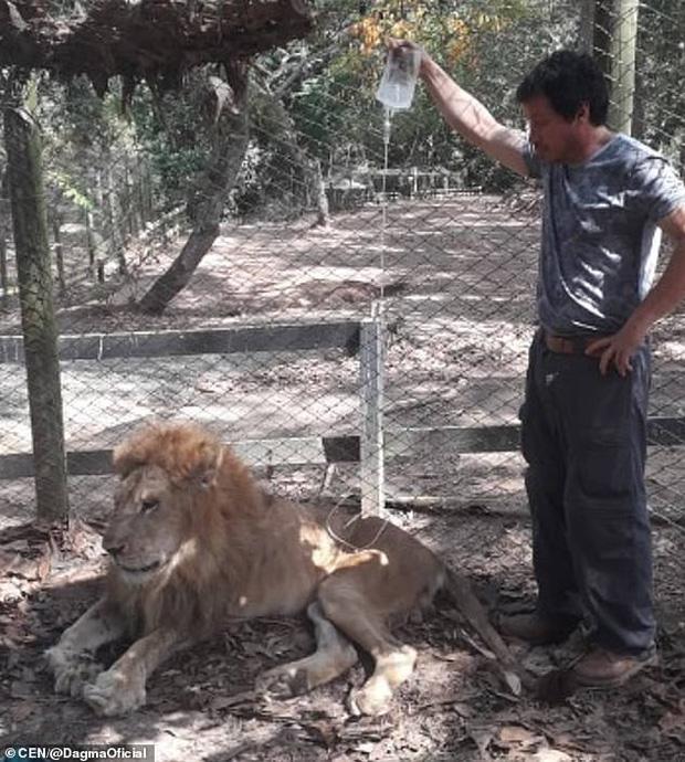 Con sư tử gầy rộc, hốc hác đến mức lộ cả xương sườn và không thể đứng dậy nổi sau khi phải rời xa người chăm sóc - Ảnh 4.