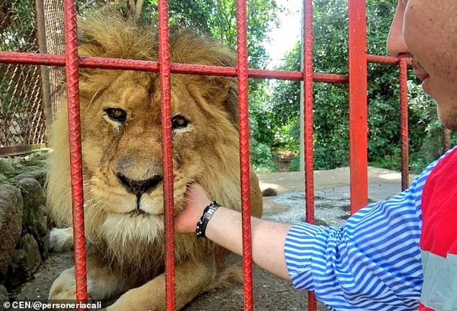 Con sư tử gầy rộc, hốc hác đến mức lộ cả xương sườn và không thể đứng dậy nổi sau khi phải rời xa người chăm sóc - Ảnh 5.
