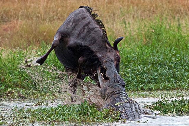 Hà mã hợp sức với cá sấu đoạt mạng linh dương đầu bò - Ảnh 2.