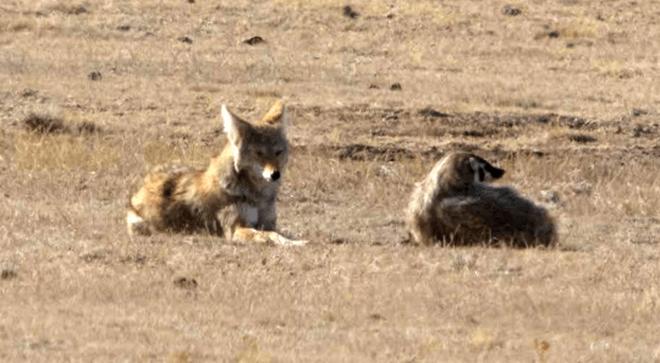 Cảnh cặp đôi sói hoang và chồn lửng rủ nhau khám phá đường hầm khiến dân mạng phát sốt vì đáng yêu hệt như trong phim - Ảnh 2.