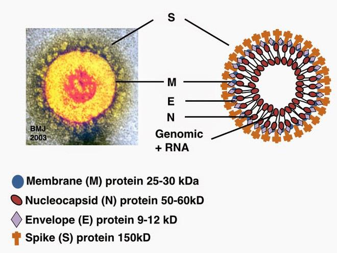Đi tìm lời giải cho độc tính của virus corona: Khi nào chúng gây chết người, khi nào chỉ gây cúm? - Ảnh 2.