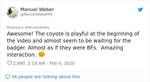 Cảnh cặp đôi sói hoang và chồn lửng rủ nhau khám phá đường hầm khiến dân mạng phát sốt vì đáng yêu hệt như trong phim - Ảnh 4.