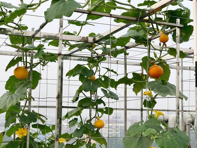 Choáng với trang trại nuôi trồng thập cẩm trên nóc nhà ở giữa Thủ đô - Ảnh 1.