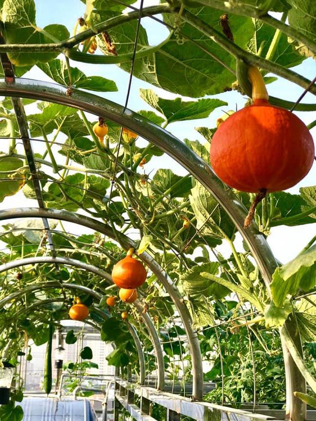 Choáng với trang trại nuôi trồng thập cẩm trên nóc nhà ở giữa Thủ đô - Ảnh 4.