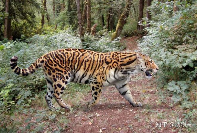 Yangs Tiger: Sư tử bản địa của Trung Quốc, nhưng lại được gọi là hổ - Ảnh 4.