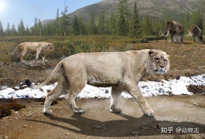 Yangs Tiger: Sư tử bản địa của Trung Quốc, nhưng lại được gọi là hổ - Ảnh 7.