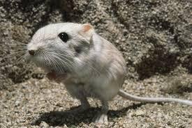 1001 thắc mắc: Kỳ lạ loài chuột nào không cần uống nước? - Ảnh 1.