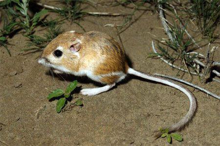 1001 thắc mắc: Kỳ lạ loài chuột nào không cần uống nước? - Ảnh 2.