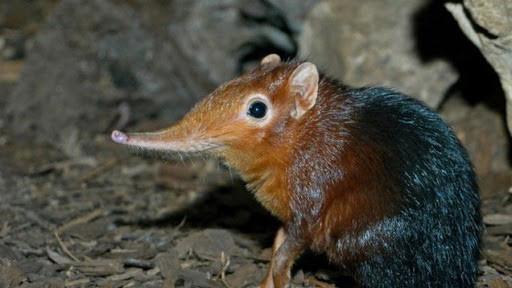 1001 thắc mắc: Vì sao nói Chuột chù nước là loài ăn thịt rất tinh vi? - Ảnh 1.