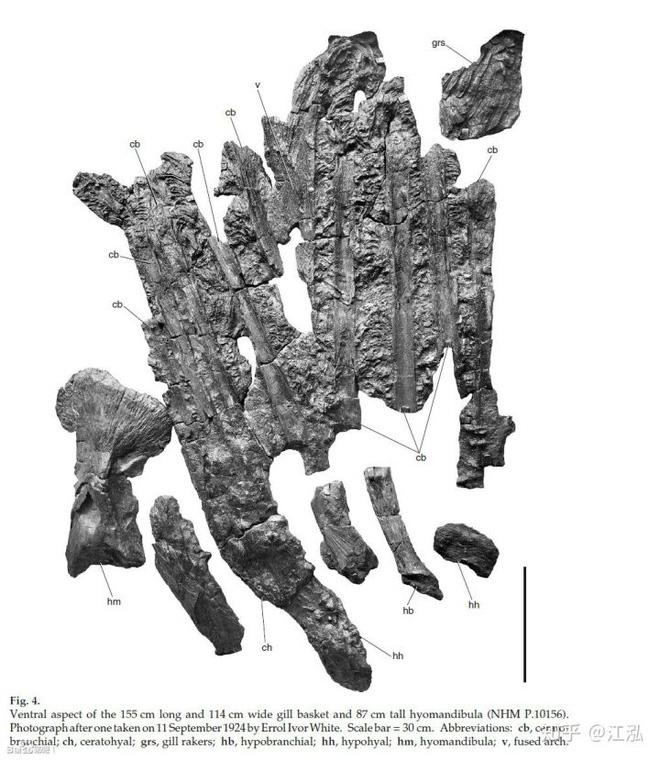 Leedsichthys: Máy hút bụi của biển cả Kỷ Jura từng bị hiểu nhầm là khủng long - Ảnh 2.