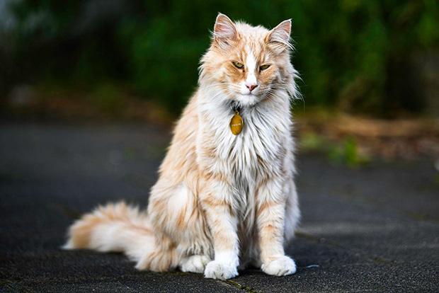 Chú mèo vương giả sở hữu 30.000 người hâm mộ và được tôn vinh như ông hoàng tại quê nhà - Ảnh 7.