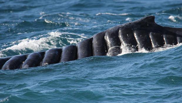 Bị chân vịt tàu thủy chém đến cơ thể đầy tổn thương, con cá voi vẫn sống sót như một điều kì diệu khiến các nhà khoa học ngỡ ngàng - Ảnh 3.