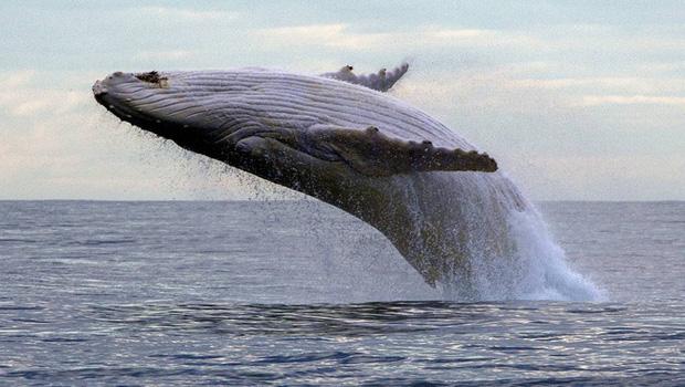 Bị chân vịt tàu thủy chém đến cơ thể đầy tổn thương, con cá voi vẫn sống sót như một điều kì diệu khiến các nhà khoa học ngỡ ngàng - Ảnh 4.