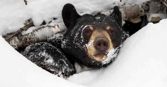 Biến đổi khí hậu nghiêm trọng đến nỗi gấu đang ngủ đông chợt tỉnh dậy sớm cả 2 tháng - Ảnh 2.