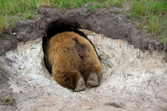 Biến đổi khí hậu nghiêm trọng đến nỗi gấu đang ngủ đông chợt tỉnh dậy sớm cả 2 tháng - Ảnh 3.
