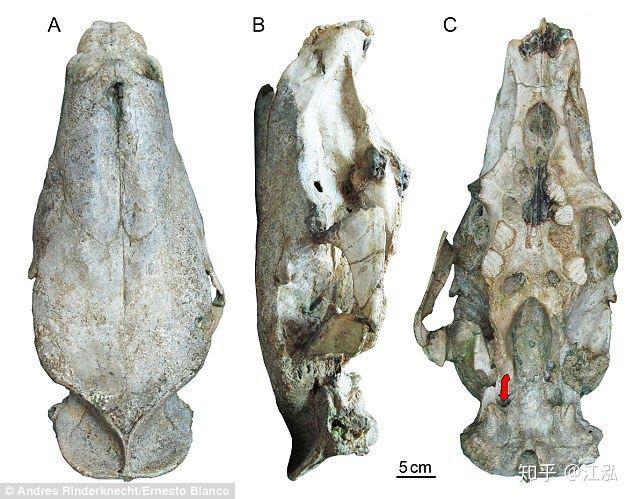 Loài chuột cổ đại lớn nhất từng tồn tại trên Trái Đất có thể đạt kích thước tương đương với một con bò tót - Ảnh 2.