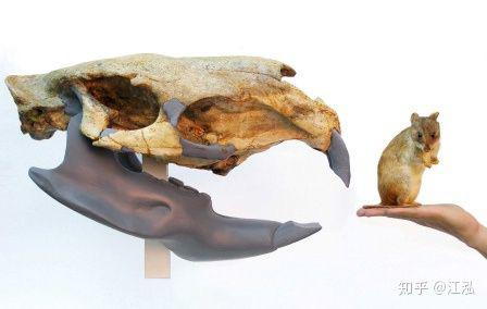 Loài chuột cổ đại lớn nhất từng tồn tại trên Trái Đất có thể đạt kích thước tương đương với một con bò tót - Ảnh 5.
