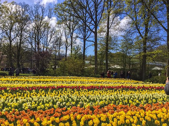 Keukenhof - Thiên đường của các loài hoa - Ảnh 2.
