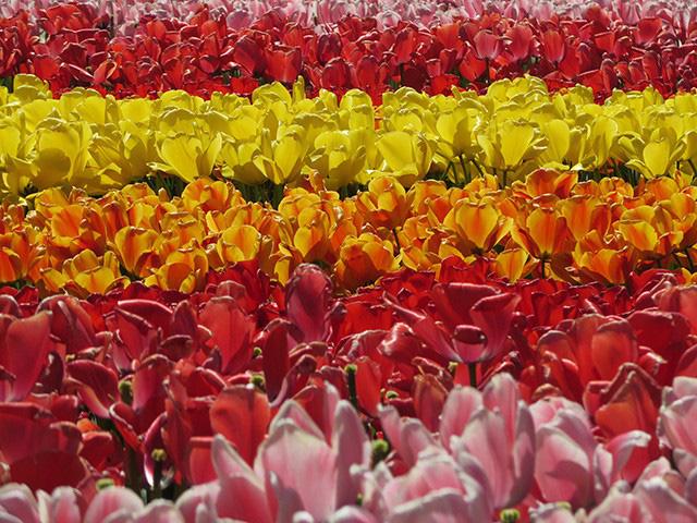 Keukenhof - Thiên đường của các loài hoa - Ảnh 11.