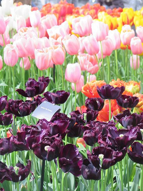 Keukenhof - Thiên đường của các loài hoa - Ảnh 12.