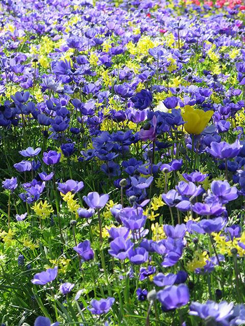 Keukenhof - Thiên đường của các loài hoa - Ảnh 18.