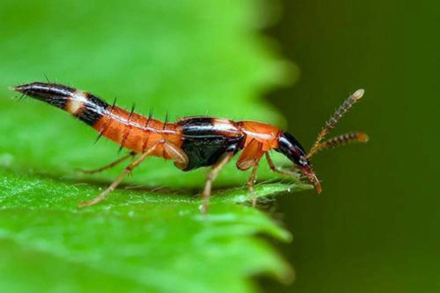 1001 thắc mắc: Loài kiến nào có nọc độc gấp 12 lần nọc rắn hổ mang? - Ảnh 3.