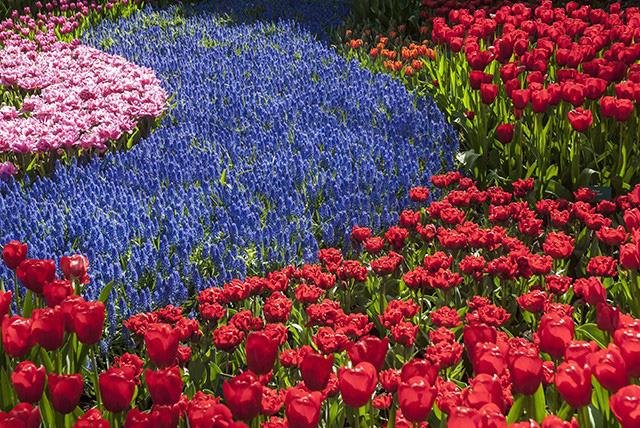 Keukenhof - Thiên đường của các loài hoa - Ảnh 5.