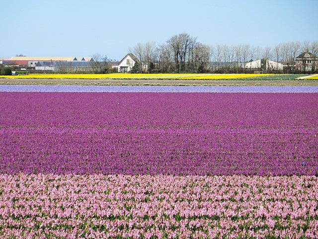 Keukenhof - Thiên đường của các loài hoa - Ảnh 7.