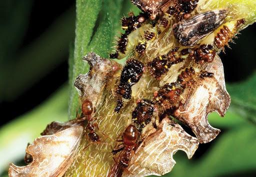 Kiến điên Tawny sống ở đâu, loài kiến nào hung tợn nhất hành tinh? - Ảnh 1.