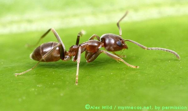 Kiến điên Tawny sống ở đâu, loài kiến nào hung tợn nhất hành tinh? - Ảnh 3.