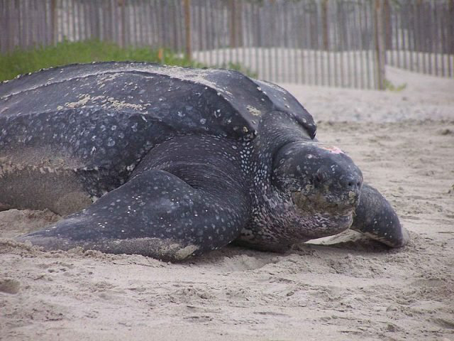 Rùa biển ngày nay.
