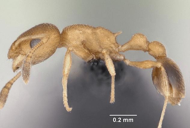 Loài kiến nào được đặt tên chiến binh có thể chữa vết thương cho đồng loại? - Ảnh 1.
