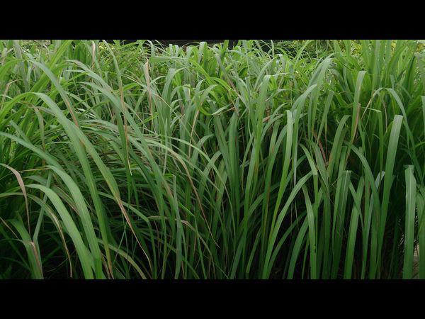 9 lợi ích sức khỏe tuyệt vời của tinh dầu sả sả chanh: Ai cũng nên có một lọ nhỏ trong nhà - Ảnh 13.