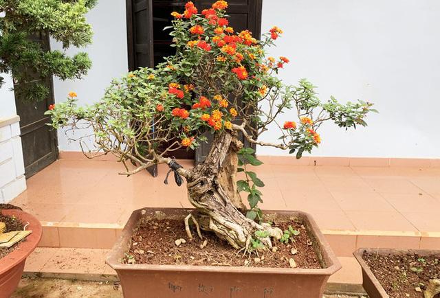 Nhiều loài hoa dại thành bonsai trăm triệu ở Đà Lạt - Ảnh 3.