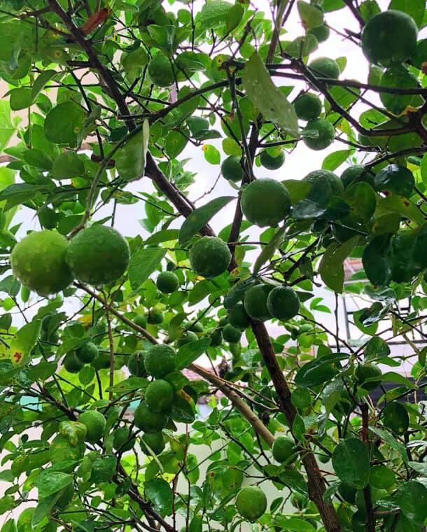 Bà xã Quyền Linh khoe thành quả thu hoạch hoa trái sai trĩu trong căn biệt thự 21 tỷ, được cả chồng lẫn 2 cô con gái xinh đẹp phụ giúp - ảnh 15