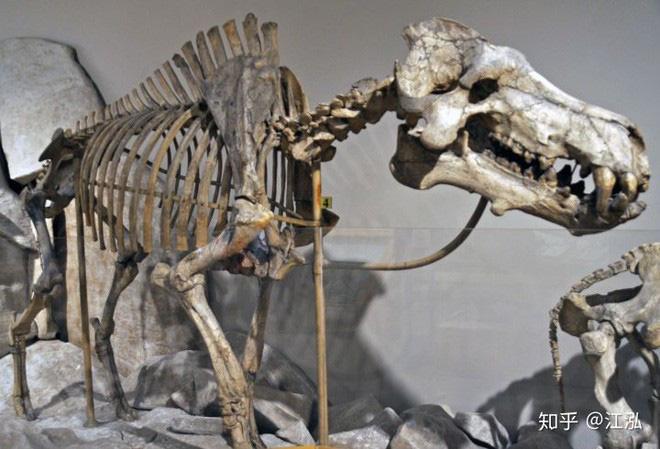 Loài lợn khổng lồ cổ đại: Kẻ khủng bố của Bắc Mỹ thời tiền sử - Ảnh 7.