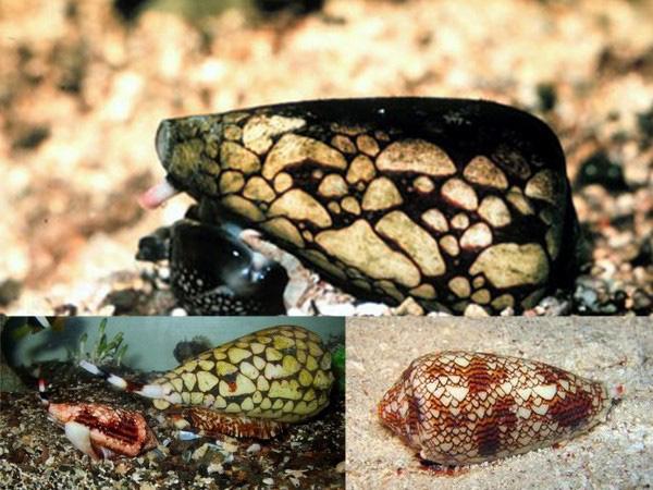 Loài ốc sên nào mang vẻ đẹp lộng lẫy nhưng giết người chỉ trong nháy mắt? - Ảnh 1.
