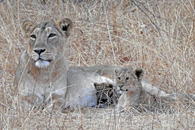 Báo đốm được sư tử mẹ nhận nuôi, chăm bẵm như con ruột, thậm chí còn sống cực kỳ hòa thuận với anh chị khác loài - Ảnh 1.