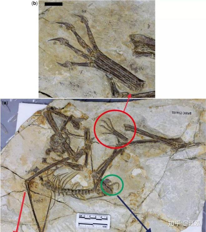 Luôn treo mình lộn ngược trên cây như loài dơi, đây nhất định là loài thằn lằn bay cổ đại kỳ lạ nhất từng tồn tại ở Trung Quốc - Ảnh 5.