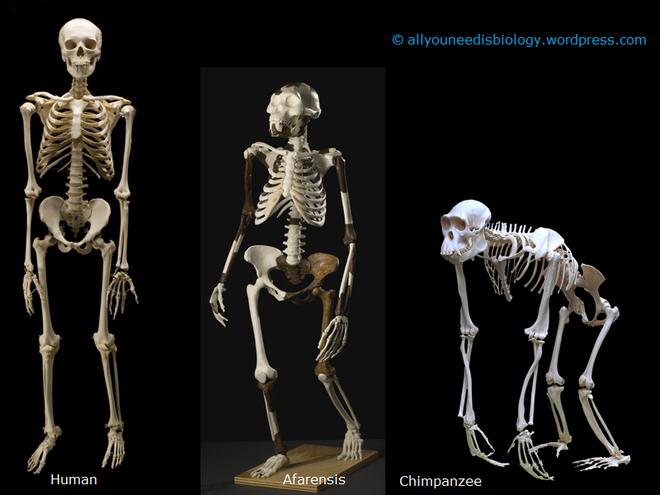 Hóa ra 100 năm khoa học đã nhầm: Chỗ lõm trên bàn chân không giúp con người đứng thẳng, mà là vòm xương ngang - Ảnh 8.