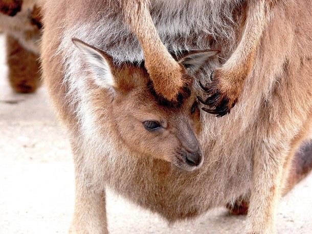 1001 thắc mắc: Kangaroo kì lạ tới mức nào? - Ảnh 1.