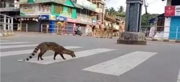Sư tử ngủ trưa trên đường khi con người vào nhà trốn đại dịch - Ảnh 3.