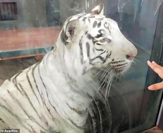 Bị nuôi nhốt lâu ở nơi quá chật hẹp, hổ trắng thất thểu không ngừng đi theo vòng tròn khiến nhiều người lo lắng - Ảnh 1.