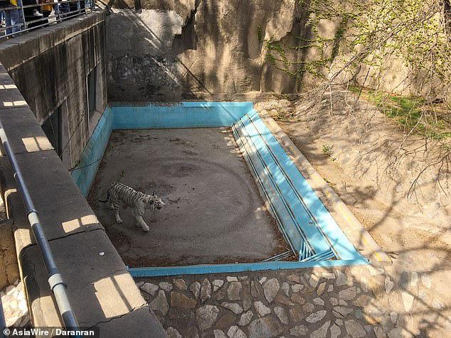 Bị trầm cảm, hổ đi thành một vòng tròn vô tận tại vườn thú Trung Quốc - Ảnh 2.
