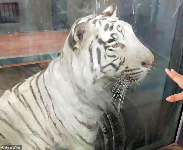 Bị trầm cảm, hổ đi thành một vòng tròn vô tận tại vườn thú Trung Quốc - Ảnh 3.